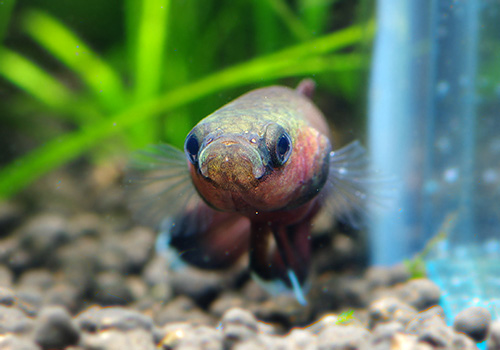 【熱帯魚】 ベタ・チャンノイデス WILD 1Pr