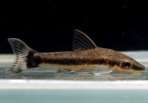 【熱帯魚】 オトシンクルス  10匹