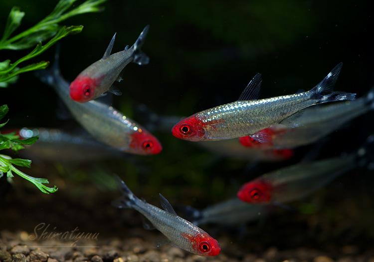 【熱帯魚】 ブリリアントラミーノーズ・テトラ 5匹
