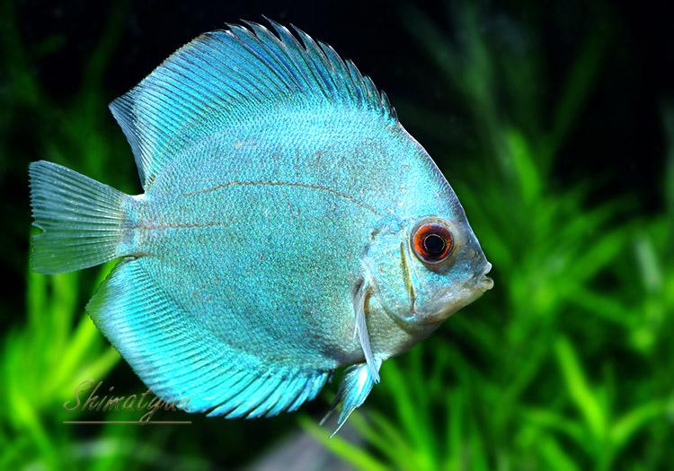 【熱帯魚】 ブルーダイヤモンド・ディスカス 1匹