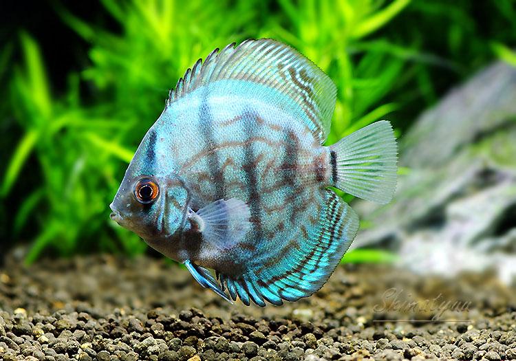 【熱帯魚】 コバルトブルー・ディスカス 3匹