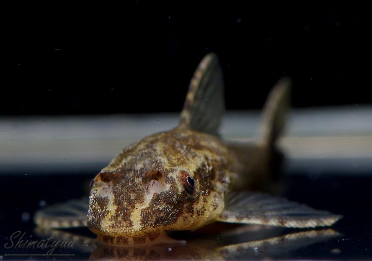 【熱帯魚】 オトシン ネグロ 10+1匹 計11匹 (死着補償対象外)