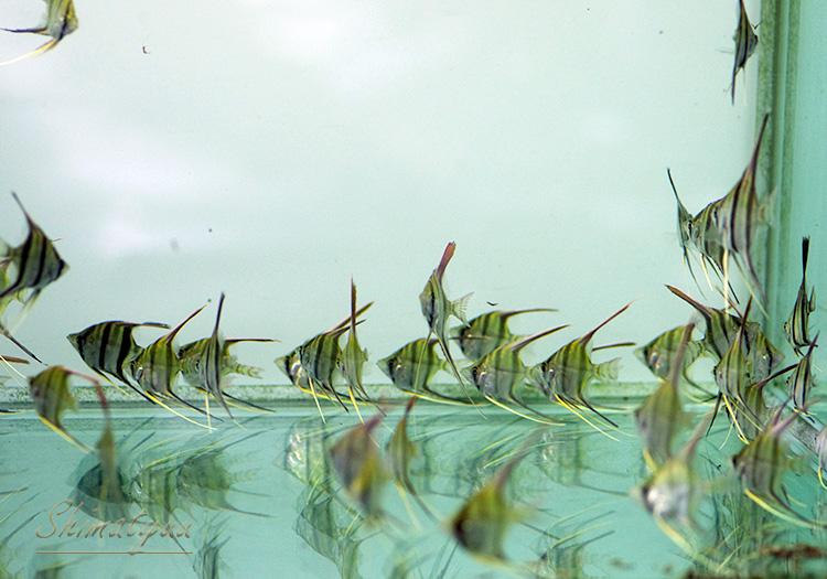 【熱帯魚】 アルタムエンゼル (S) 1匹