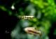 【熱帯魚】 モスキートフィッシュ 3Pr
