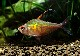 【熱帯魚】 コバルトロージー・テトラ (L) WILD 5匹