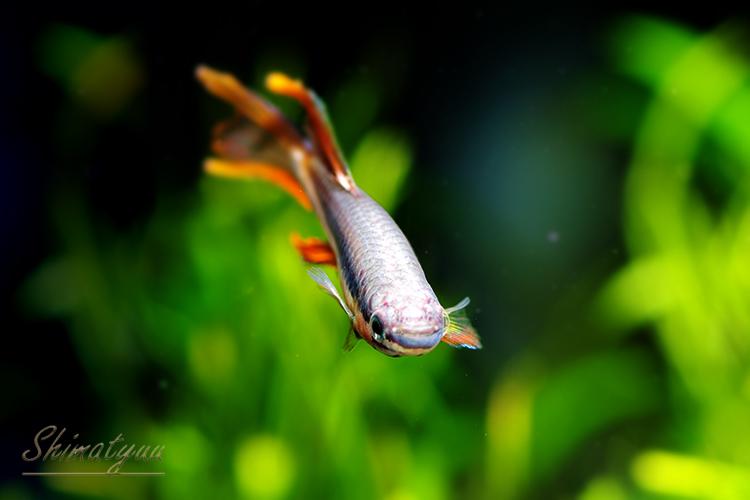 【熱帯魚】 アフィオセミオン バイビテータム FUNGE 1Pr