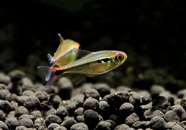 【熱帯魚】 ファイヤーテールホタルテトラ WILD 3匹