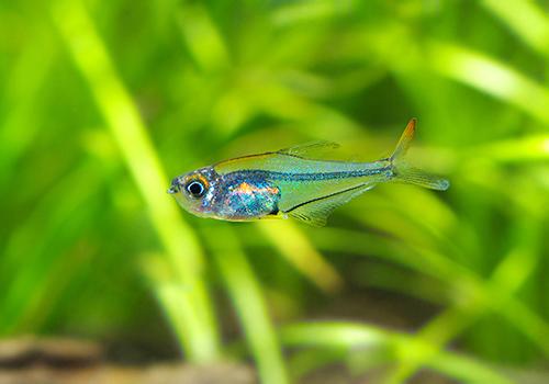 【熱帯魚】 クリスタルレインボー・テトラ WILD 3匹