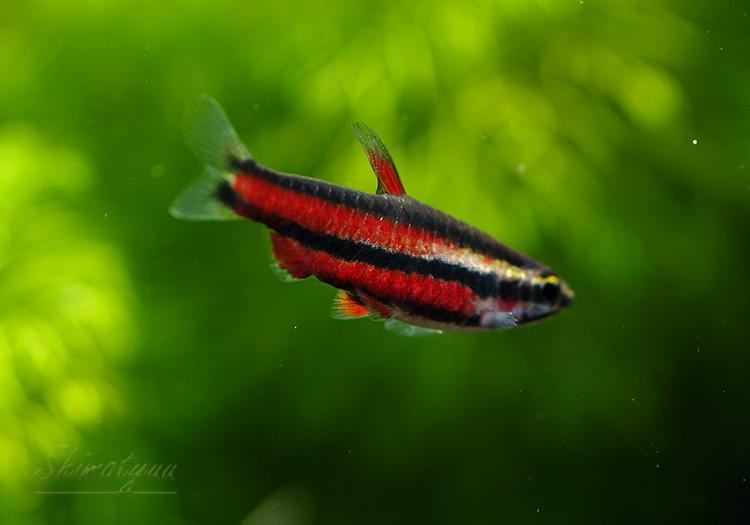 【熱帯魚】 ブラッドレッドペンシル  WILD 3匹