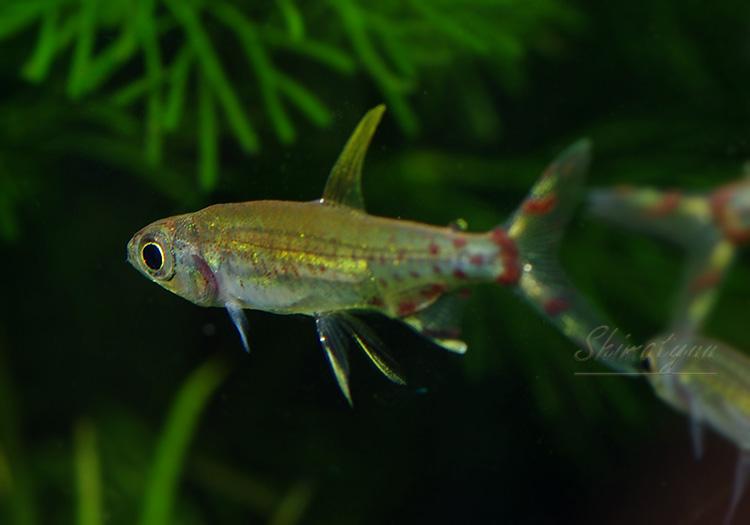 【熱帯魚】 アドニス・テトラ WILD 1匹