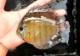 """【熱帯魚】 一点物 マナカプル レッドディスカス WILD  赤目 """"Rio manacapuru """""""