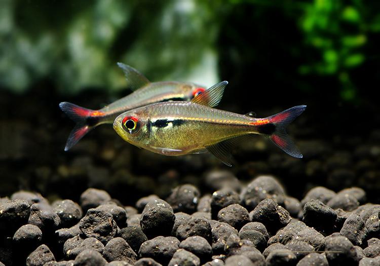 【熱帯魚】 ファイヤーテールホタルテトラ WILD 1匹