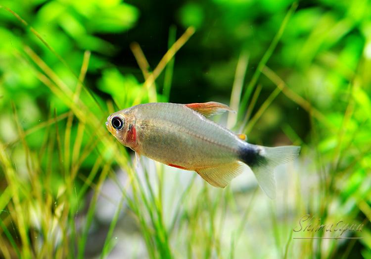 """【熱帯魚】 ハイフェソブリコン ペウゲオッティ WILD """"ジュルエナ"""" (S〜SM) 1匹"""
