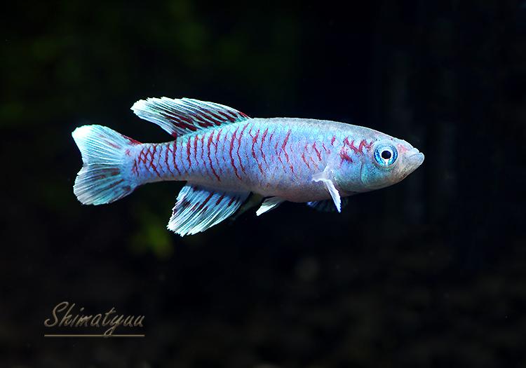 【熱帯魚】 ノソブランキウス エッゲルシー ブルー 1Pr