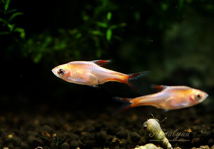 【熱帯魚】 ラスボラ・ヘテロモルファ ゴールド 1匹