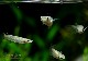 【熱帯魚】 アプロケイルス パンチャックス WILD 1匹