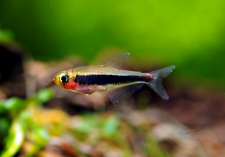 【熱帯魚】 激安限定大特価 トゥッカーノテトラ  WILD 10匹