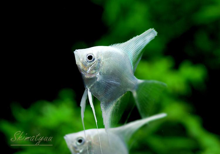 【熱帯魚】 プラチナエンゼル (SM〜M) 5匹