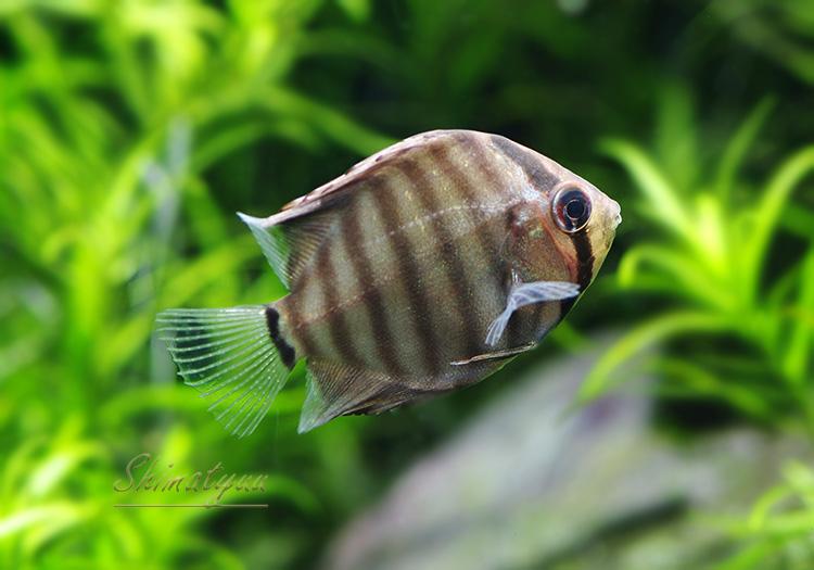 """【熱帯魚】 WILD グリーン ディスカス  """"Rio Nanai"""" ベビー 3匹"""