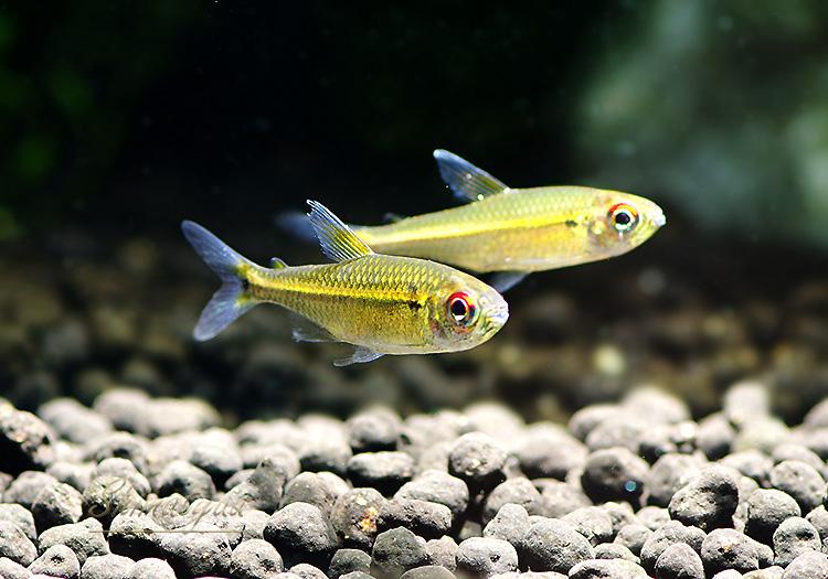 """【熱帯魚】 ヘミグラムス ベロッティ """"コロンビア"""" WILD 3匹"""