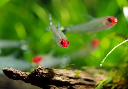 【熱帯魚】 イエローテール・ラミーノーズテトラ WILD 1匹