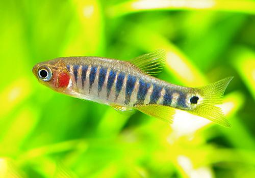 【熱帯魚】 ミクロラスボラ・エリスロミクロン 1匹