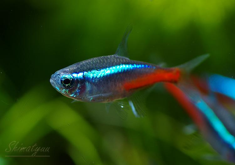 【熱帯魚】 ネオン・テトラ (ML〜L) 5匹