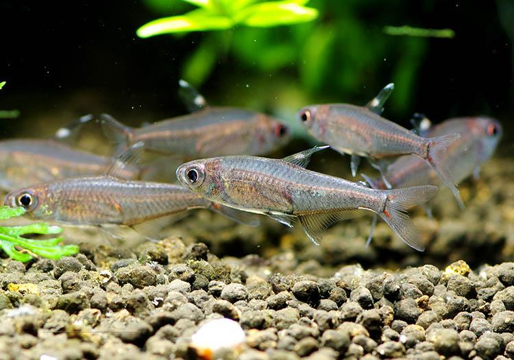 """【熱帯魚】 ハイフェソブリコン・ミノール """"デメンデス"""" WILD 1匹"""