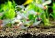 【熱帯魚】 ラミーノーズテトラ 5匹