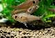 【熱帯魚】 ハイフェソブリコン コペランディ WILD 3匹