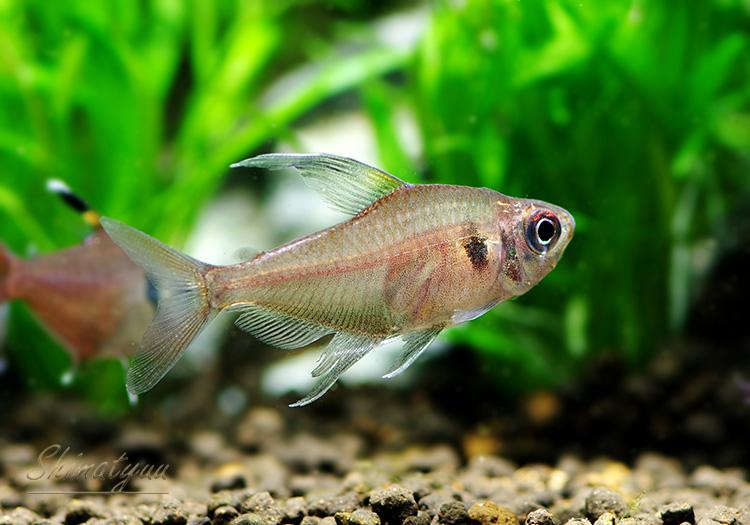 【熱帯魚】 ハイフェソブリコン コペランディ WILD 1匹