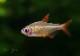 """【熱帯魚】 レッドチェリーテトラ """"ジュルエナ"""" WILD 3匹"""