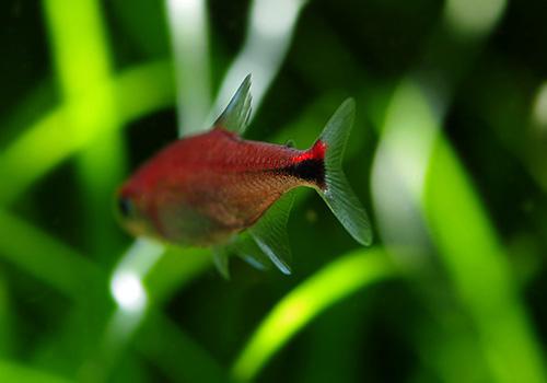 【熱帯魚】 ディープレッドホタルテトラ WILD 10匹