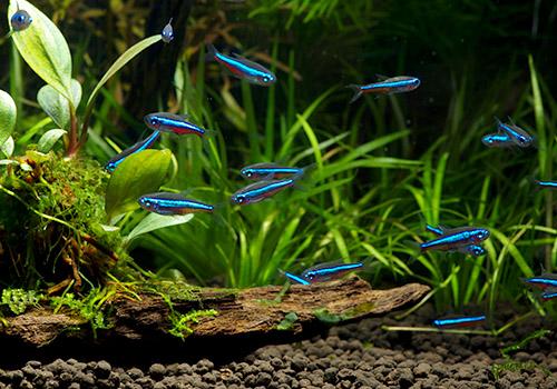 【熱帯魚】 グリーンネオンテトラ WILD 10匹
