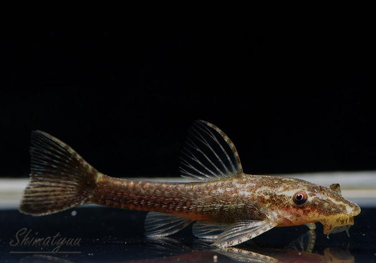 【熱帯魚】 オトシン ネグロ 1匹