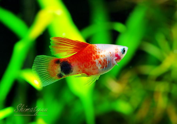 【熱帯魚】 ハイフィン レッドトップミッキーマウス プラティ 1匹