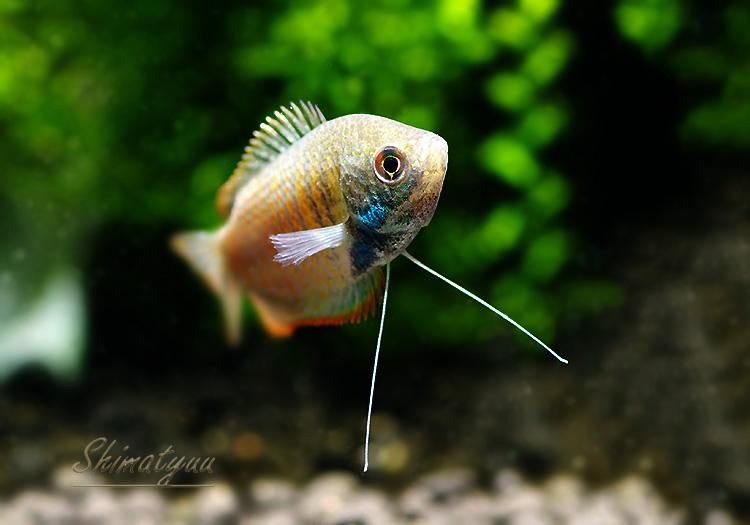 【熱帯魚】 ドワーフグラミー WILD 1匹
