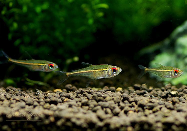 """【熱帯魚】 ホプロカラックス・ゴエッセイ """"アッパーネグロ"""" WILD 1匹"""