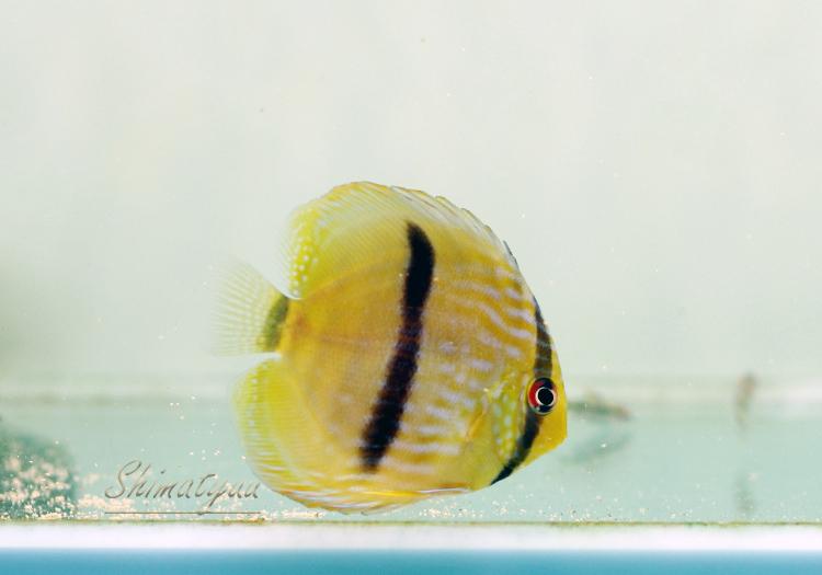 """【熱帯魚】 ヘッケルディスカス """"ネグロ"""" WILD 3匹"""