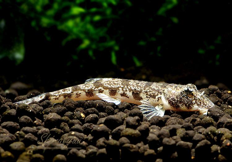 【熱帯魚】 ゴンゴタローチ 1匹