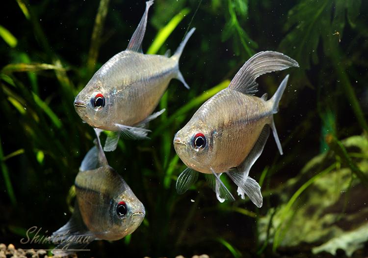 """【熱帯魚】 ダイヤモンド・テトラ WILD """"ベネズエラ産"""" 1匹"""