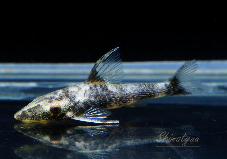 【熱帯魚】 ナンノプトポマ スペクタビレ 3匹