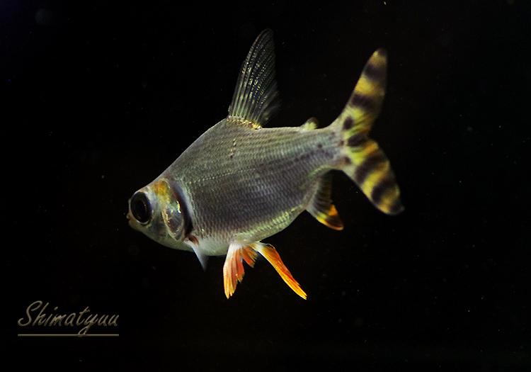 カラープロキロダス WILD 13〜16cm 1匹