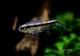 【熱帯魚】 グローライトビルマエテトラ WILD 3匹