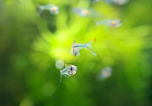 【熱帯魚】 クリスタルレインボー・テトラ WILD 1匹