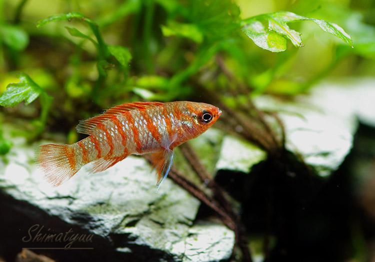 【熱帯魚】 スカーレットジェム 1匹