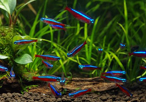 【熱帯魚】 カージナルテトラ (L) WILD 10匹