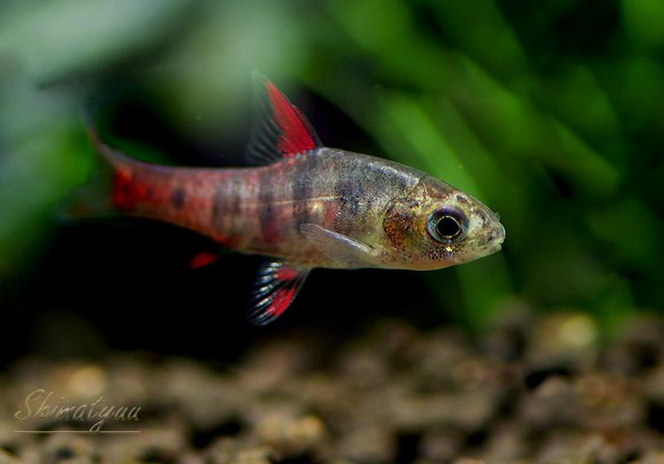 【熱帯魚】 バルブス・ヤエ WILD 1Pr