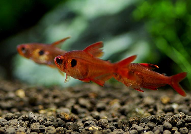 """【熱帯魚】 レッドファントム・テトラ """"ルブラ"""" 真っ赤タイプ WILD 5匹"""
