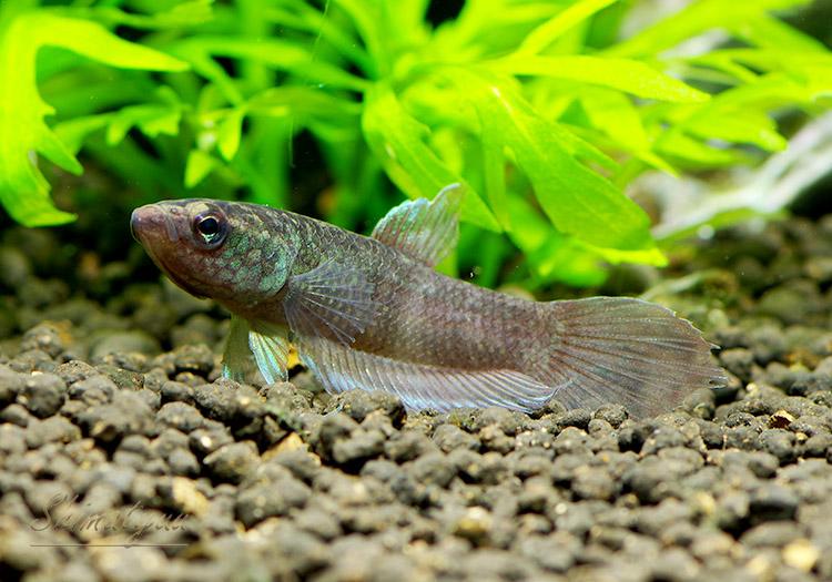 【熱帯魚】 ワイルド ベタ ディミディアータ 1匹